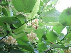 tiglio in fiore ospita maschi e femmine del coleottero Rhagonycha fulva