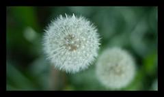 Dandelion (Tascha303) Tags: nature natur dandelion lwenzahn pusteblume
