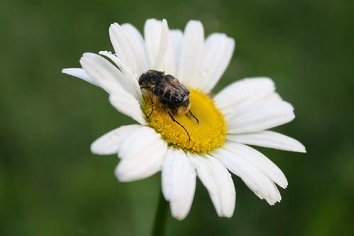 Beetle-Bug Daisy.