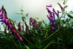welll purples my friend (BaileyRaeWeaver) Tags: flowers blue summer sorry smile cat purple outdoor sweetpea scared 88 fetch feelgood yellowbird anewtime baileyraeweaver