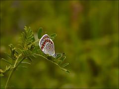 Azur des coronilles ... (Journ'obs...) Tags: ardennes papillon insecte insectes 2010 faune panasoniclumixdmcfz18 collectionnerlevivantautrement boisdami azurdescoronilles
