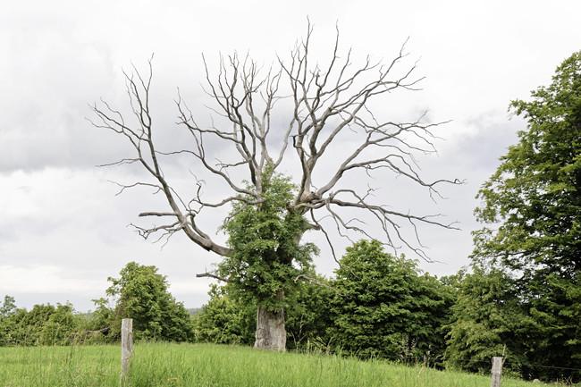 döda eken
