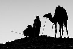 (jonmartin ()) Tags: africa fashion animal animals silhouette wildlife egypt silhouettes style dromedary camel beast activity creatures creature mammals beasts activities zoology ruminant ruminants undomesticatedanimals cvkc