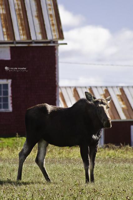 Moose5
