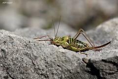 Ephippiger ephippiger, Dordogne (MP7Aquit) Tags: macro nature animal insect wildlife sony 180 alpha animaux tamron orthoptera insecte invertebrate 550 invertebrado orthoptre orthoptere invertbr ephippigre