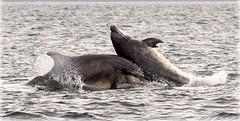Thump! (niknok2007...) Tags: sea wild water animal mammal scotland jump marine rosemarkie chanonry bottlenose morayfirth breach bottlenosedolphin fortrose chanonrypoint 5thaugust2010 nicolaratcliffedolphin