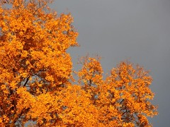 Autumn Contrast (donsutherland1) Tags: autumn sun ny newyork color fall nature sunshine clouds october fallfoliage foliage illuminate larchmont flickraward natureselegantshots afhht flickrsportal
