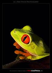 Red eyes frog (Agalychnis Callidryas) (Jesus Coll) Tags: wild animal animals wildlife amphibian images frog stockphotos frogs animales amphibians rana rf amphibious zoology redeyes stockphotography ranas zoologia royaltyfree anfibios anfibio ojosrojos agalychnis freephotos callidryas redeyesfrog ranadeojosrojos freeimages freestockphotos