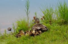 The new little family. (Yolanta Z) Tags: ducks