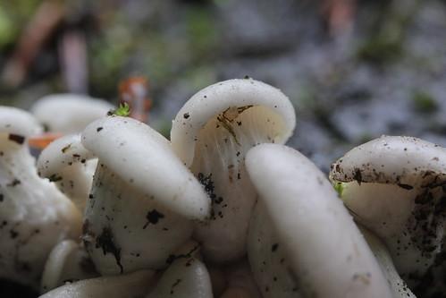 Oyster Mushroom - Pleurotus cf. ostreatus