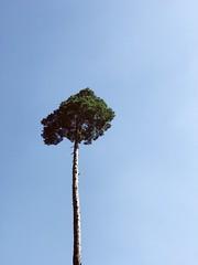 Swiss Palm Tree (FlavioSarescia) Tags: iphone tree sunshine forest summer sky switzerland minimalism walk wanderlust sunlight