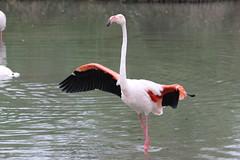 Pink Flamingos (ec1jack) Tags: ec1jack kierankelly canoneos600d france provence europe eu june 2017 southoffrance summer pink flamingos camargues camargue pontdegau parcornithologiquedepontdegau bouchesdurhône saintesmariesdelamer