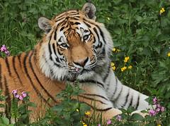 amurtiger taymir Ouwehands JN6A3724 (joankok) Tags: tiger tijger amoertijger amurtiger siberischetijger siberiantiger pantheratigrisaltaica ouwehands kat cat mammal zoogdier dier animal asia azie
