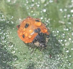 Misty Lady. (Omygodtom) Tags: tamron90mm tamron flickr elitebugs existinglight ladybug insect macro bokeh dew mist green orange outside sunshine nikkor usgs nature natural nikon pretty 7dwf contrast