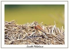 Linotte mélodieuse (patrice h) Tags: nature faunesauvage linottemélodieuse passereaux