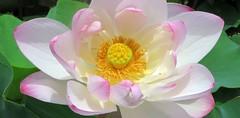 Lotus cupcake (langkawi) Tags: nelumbonucifera
