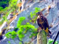 Desfiladero Los Beyos (sebastiánaguilar) Tags: 2014 desfiladerobeyos asturias león españa paisajenaturaleza montañas nat fauna aves rapaces
