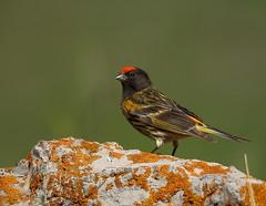 (AmirHosssein) Tags: bird iran wildlife    firefrontedserin serinuspusillus redfrontedserin