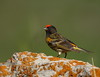 (AmirHosssein) Tags: bird iran wildlife ایران پرنده سهره firefrontedserin serinuspusillus redfrontedserin پرندهنگری سهرهپیشانیسرخ
