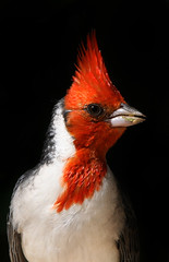 Red Crested Cardinal (Eldad Hagar (Please support Hope For Paws)) Tags: red bird closeup cardinal animalrescue straydog crested homelessdog birdwatcher dogrescue colorphotoaward eldadhagar hopeforpaws wwwhopeforpawsorg eldad75 dogrescuelosangeles hopeforpawsorg straydogrescue