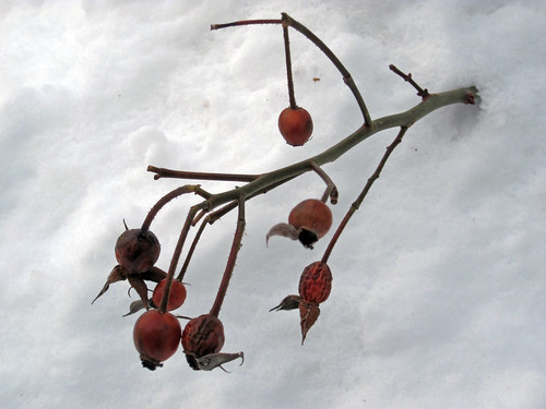 Royal Bonica Rose Hips