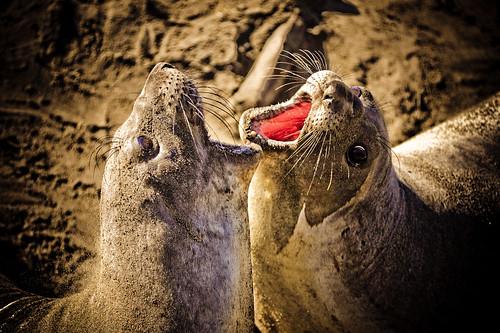 フリー画像| 動物写真| 哺乳類| アザラシ| ゾウアザラシ| 威嚇| 格闘/決闘|     フリー素材|