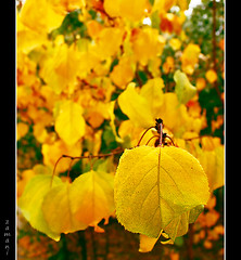 Yellow (seyed mostafa zamani) Tags: life camera autumn color macro art colors beautiful yellow canon eos leaf nice colorful asia iran arts dreams iranian        eos450d 450d