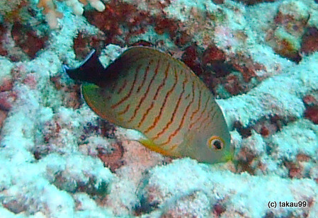 Blacktail angelfish, Similan Islands Thailand