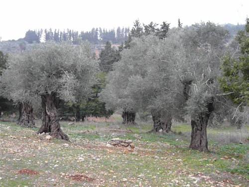 Yodfat 95 - olive grove
