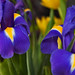 Two large English Iris flowers with tulips in the background