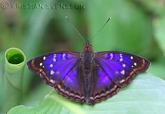 (Doxocopa zunilda)? (macronyx) Tags: peru nature butterfly insect wildlife insects papillon mariposa schmetterling farfalle fjäril nymphalidae apaturinae sommerfugle perhoset doxocopa