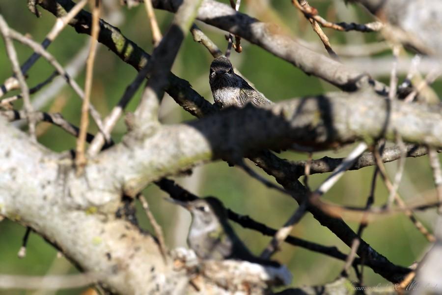 Anna's Hummingbird fledgling 091-3