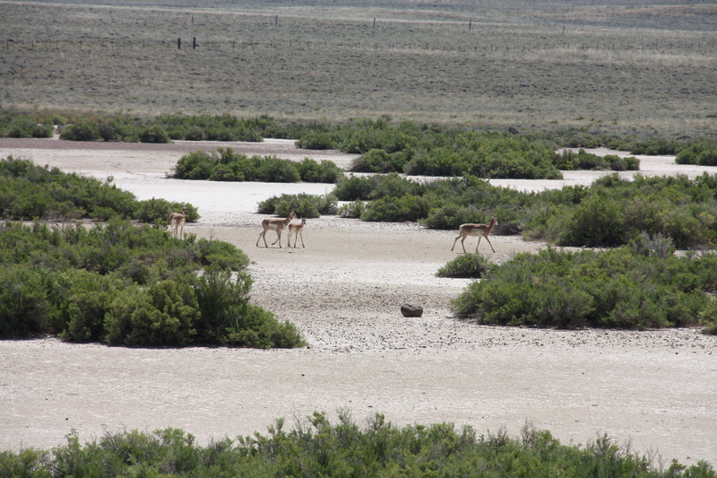 Antelopes on the Salt Flats