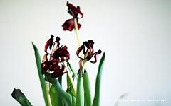 leethalflowersphoto1680x1050