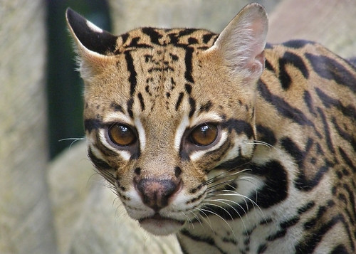 "Ocelot - 2nd Place ""Student Category"" - 2009 Buffalo Zoo Photo Contest"