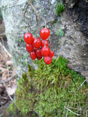 Mysterious vine with red berries