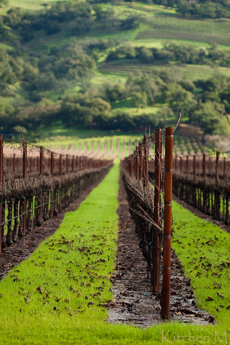 Napa Vineyard