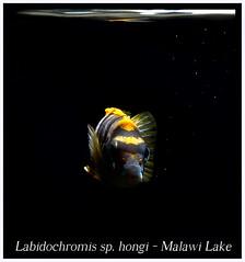 Labidochromis hongi (Bruno Cortada) Tags: malawi marino mbunas cclidos sudafricanos tanganyica