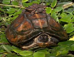 Spiny turtles (heosemys) Tags: turtle reptile spinosa heosemys