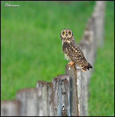 Mocho-dos-banhados  -   Asio flammeus (Oderson Mendes) Tags: bird nature nikon natureza aves coruja pássaros birdlife 80400vr d90 asioflammeus oderson mochodobanhado
