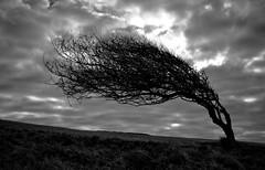 Bent Double (Duncan George) Tags: uk sky blackandwhite tree nature monochrome silhouette clouds sussex mono landscapes nikon raw wind westsussex sevensisters southdowns sevensisterscountrypark d700 artofimages bestcapturesaoi elitegalleryaoi mygearandmepremium mygearandmebronze mygearandmesilver
