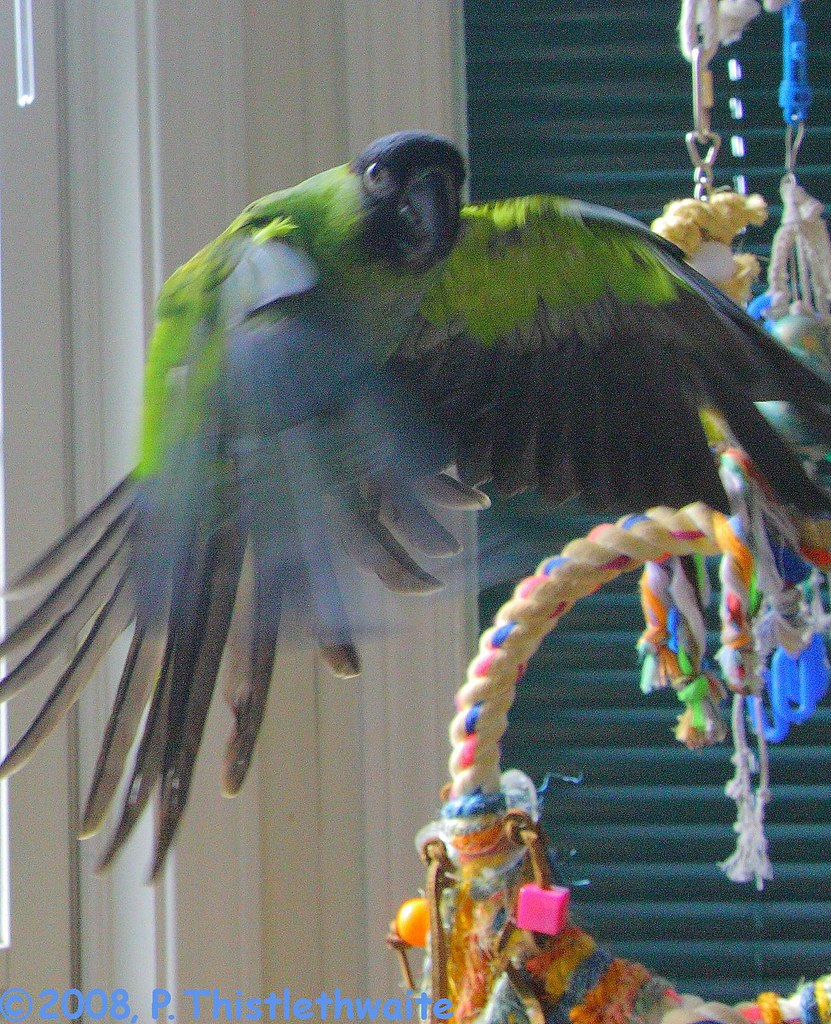Nanday conure flying