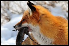 Tastes Like Chicken (GrimPapa) Tags: winter red snow nikon eat fox prey bombayhook 2xteleconverter bfgreatesthits 300mmafi