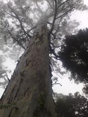 Giant Eucalypt