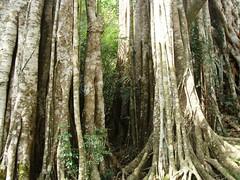 Banyans 6 (YZ-L) Tags: taiwan taitung banyantree
