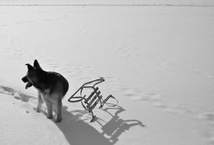 Young German shephard with a sledge