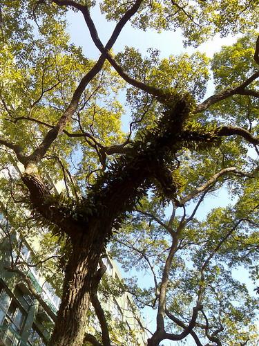 學校的大樟樹