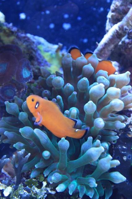 ORA Naked Ocellaris Clownfish in Green Bubble Tip Anemone