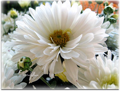 Purity (bodulka) Tags: flowers white macro nature garden chrysanthemum priroda soe purity cvijece fantasticflower mywinners worldbest anawesomeshot citrit macromix flickrestrellas natureselegantshots spiritofphotography flickraward krizantema bodulka goldpawaward thelargestgroupintheworld