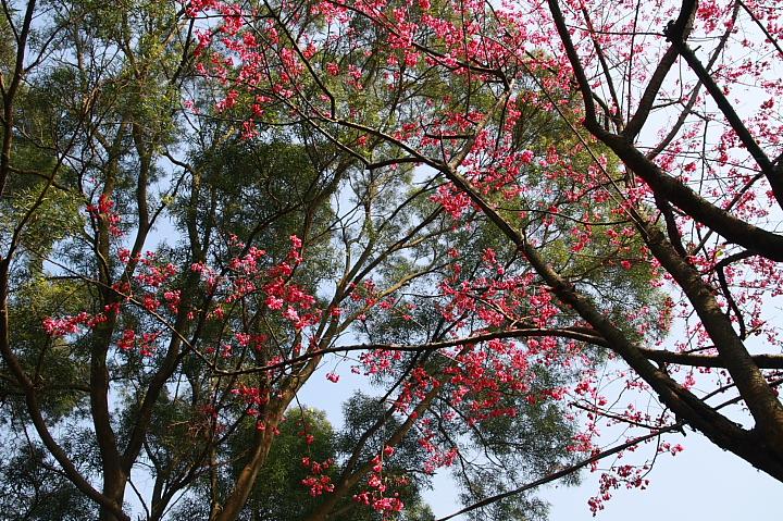 樹林大同山青龍嶺的櫻花林0014